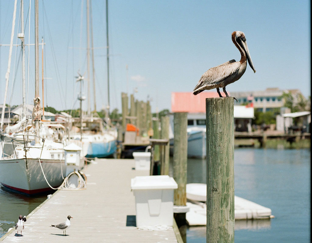 Marni-Rothschild-Pictures-shem-creek-pelican